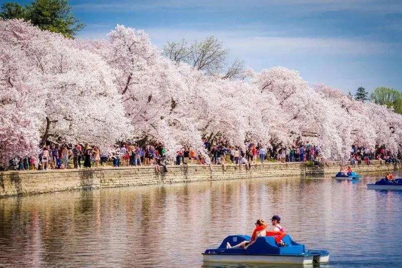 Washington organizará o Festival Nacional da Flor de Cerejeira 2017