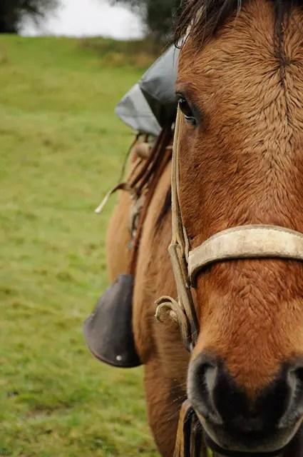 Cavalo Euro: dócil
