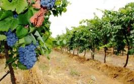 No sertão de Pernambuco, turistas podem conhecer produção de vinhos
