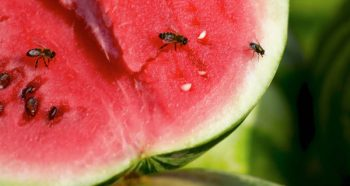 fruit-fly-watermelon-diy-traps-a231844424-600x319