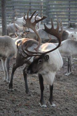 male-reindeer-finland-500x750-1