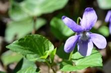 fiore astroni