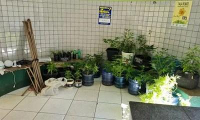 Polícia Civil prende homem acusado de cultivar maconha em estufa