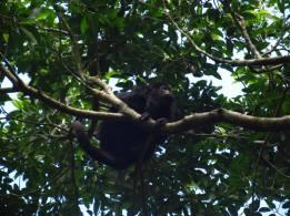 Mono aullador, Yaxchilán
