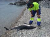 emplado-limpieza-playa-observa-delfin-antes-de-retirarlo-16