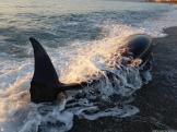 detallles-del-delfin-vivo-varado-esta-manana-en-almunecar-16-2