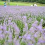 遅咲きラベンダー(夏・11)たんばらラベンダーパーク