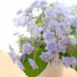 紫陽花・・・と、ブレッチェン