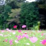 みよしそばの里・コスモス畑(秋・5)