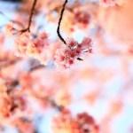 ソメイヨシノが数輪、咲き始めました(ふじみ野写真さんぽ・春1)