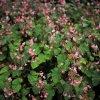 秋の最初の写真さんぽは、シュウカイドウと彼岸花から