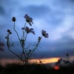 秋桜と朝焼けを期待して、写真さんぽ