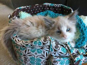 Bingo - foster kitten