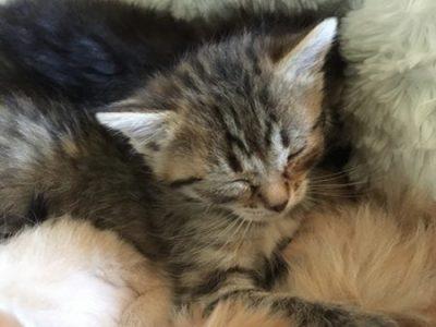 Fancy - foster kitten