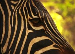 wild zebra