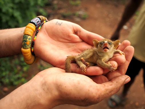 Rescuing a baby squirrel in forests of Tafi Atome