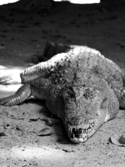 Croc, The Gambia