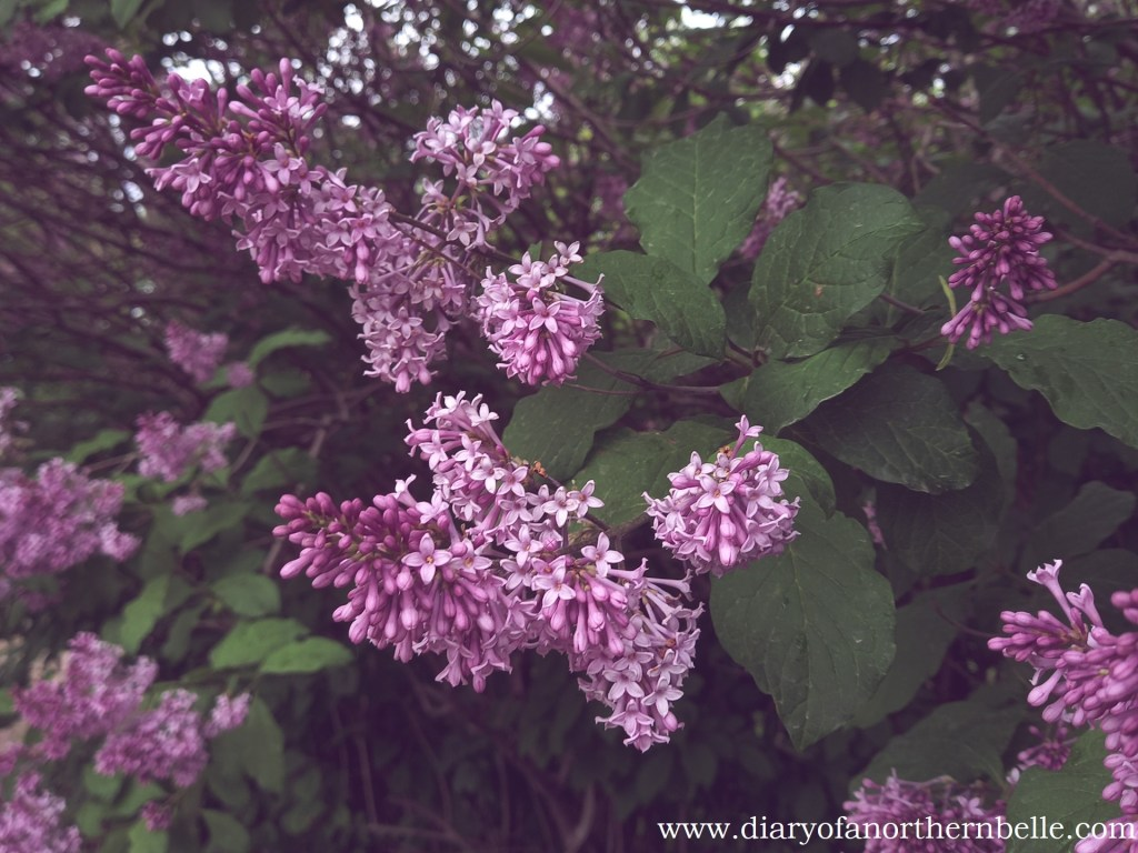 blooming lilac tree