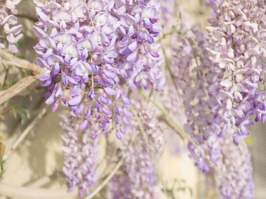 branches of wisteria
