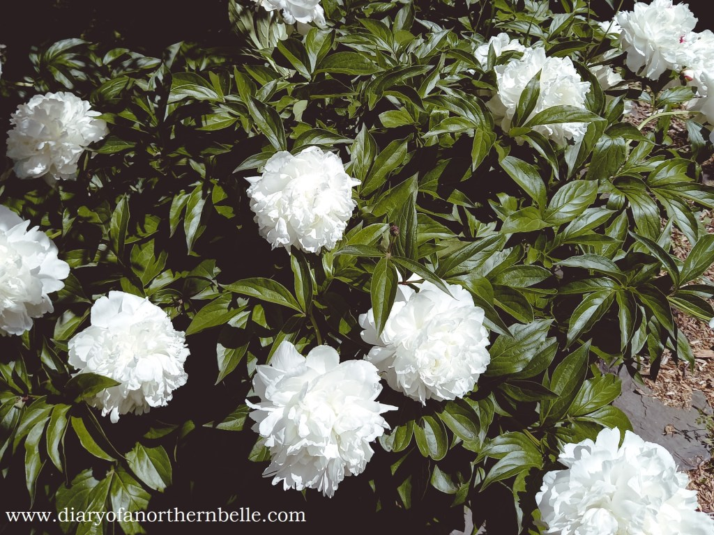 white peonies bush