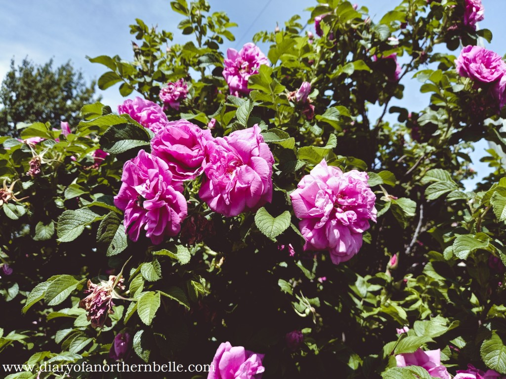 cluster of pink wild roses