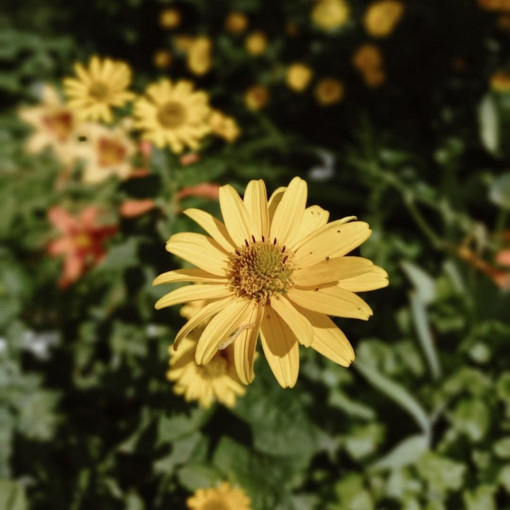 yellow daisy from the garden