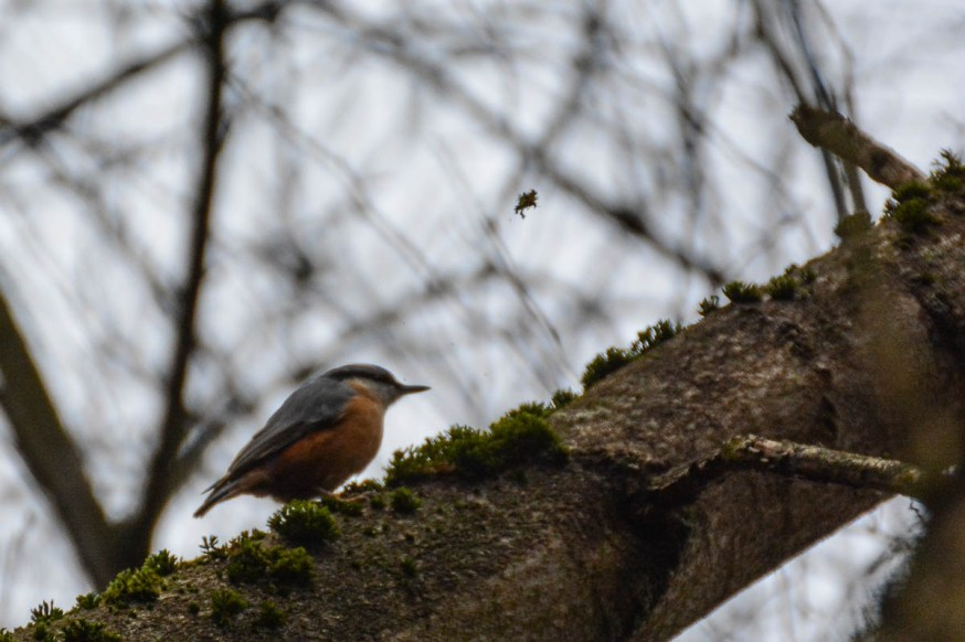 Nuthatch bird on a tree