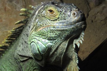 Quand des centaines d'iguanes affamés entourent leur gardien «intrépide» - vidéo