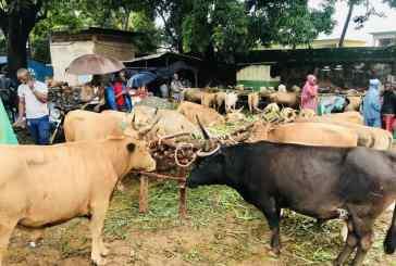 Tabaski : Les moutons se négocient entre 2 à 5 millions GNF et les bœufs de 9 à 14 millions gnf