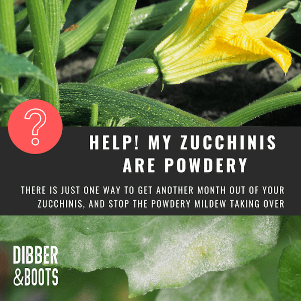 zucchinis grow up