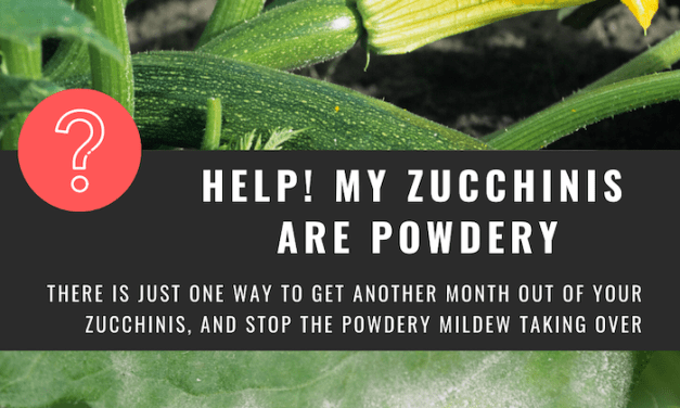 Zucchinis grow up!