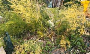 Asparagus turning golden in Autumn