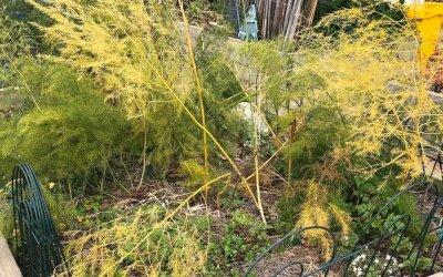 Simple winter maintenance for Asparagus