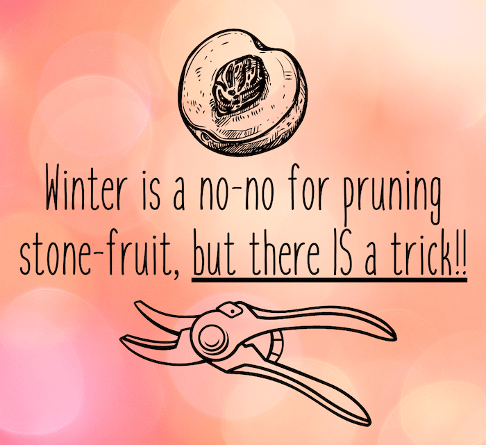 The stone fruit pruning trick.