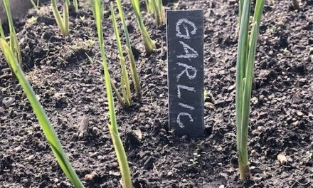 Garlic is up