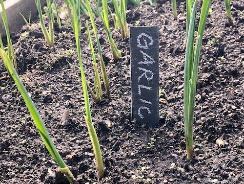 Garlic is up