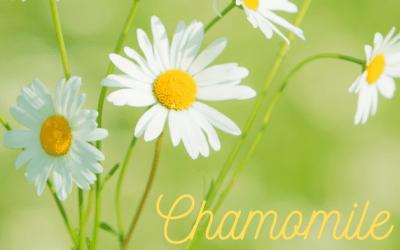 Chamomile in Spring for Pollinators