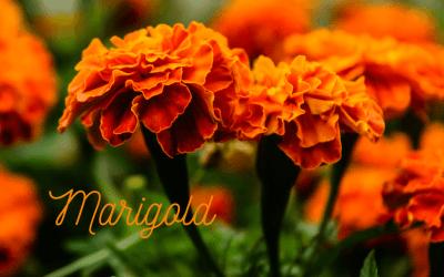 marigolds in spring for pollinators