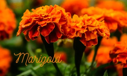 marigolds in spring for pollinators