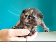 BLACK-TORTIE-LOLLIPOP-2-weeks (9 sur 20)