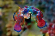 Mandarin Fish Pair