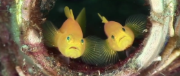 Pair of Gobies Mated for Life