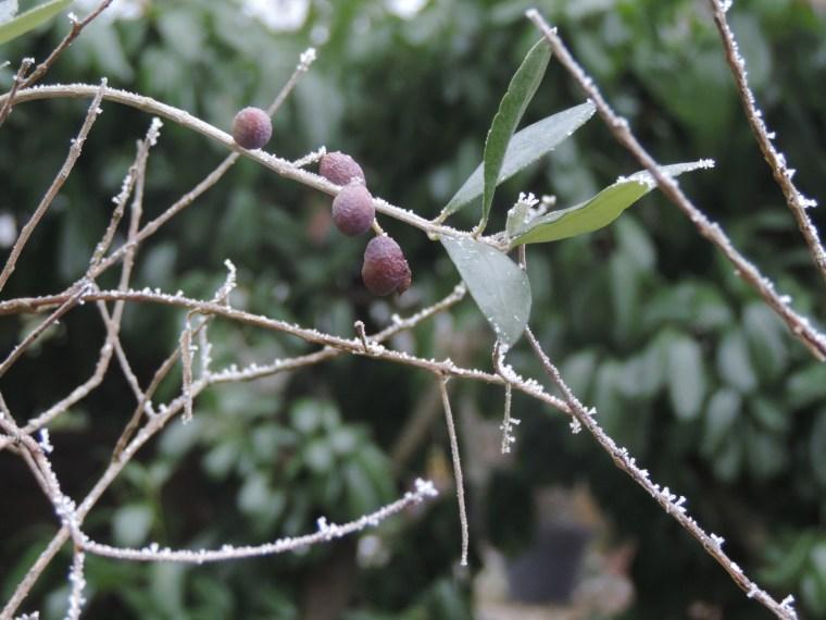 olivier-sous-la-neige