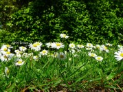 Lovely Daisies