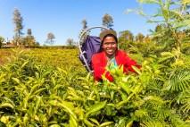 Sri Lanka: Teepflückerin in Nuwara Eliya. © Gebeco Länder erleben
