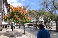 Die Straßen Funchals sind gesäumt von blühenden Bäumen.