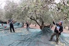 Die Olivenernte beginnt auf Kreta zumeist in der ersten Oktoberwoche und dauert bis zu 90 Tage an. © Kurt Sohnemann