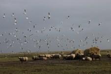 Schafe und Möven gehören an der südjütlandischen Westküste zum bestimmenden Bild. © Kurt Sohnemann