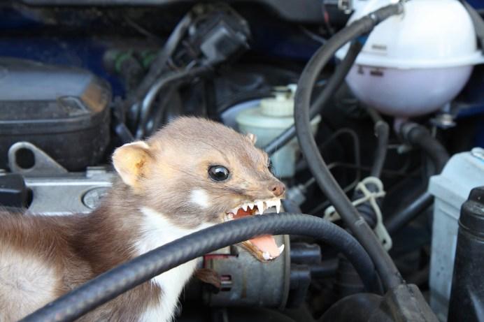 Mahlzeit: Marder finden auch die Kabel im E-Auto besonders lecker. © Hyundai