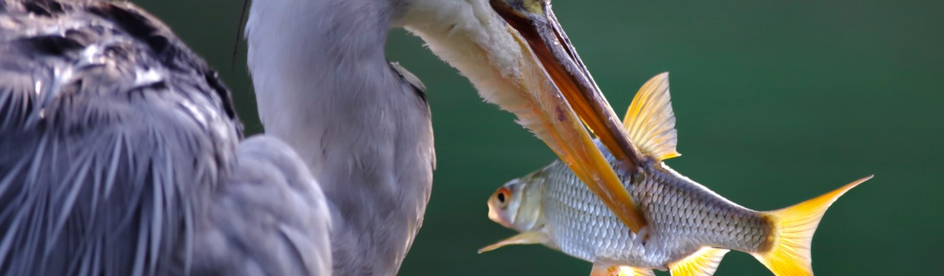 heron, grey heron, fish